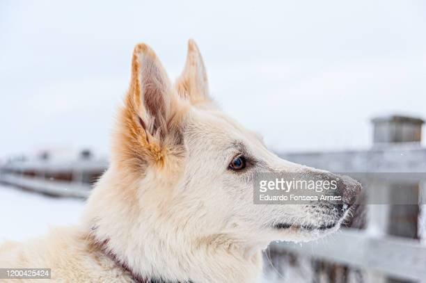 white german shepherd enjoying a winter day on the snow in the gaspésie region in the province of québec - cap des rosiers stock pictures, royalty-free photos & images