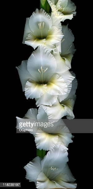 branco gladiola-xxxl - ogphoto - fotografias e filmes do acervo