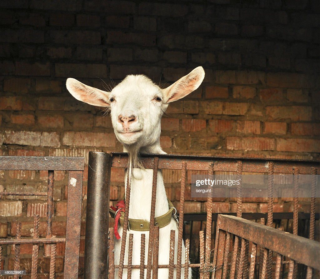 white goat behind the barrier. : Stock Photo