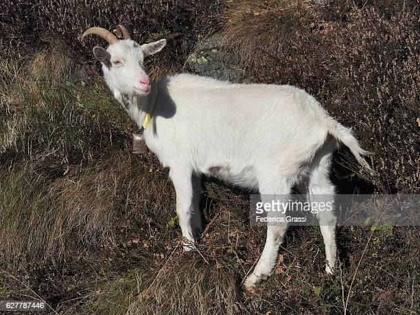 White Goat On Mount Morissolo, Piedmont, Northern Italy