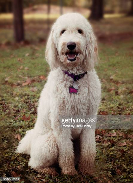 white goldendoodle 2 - goldendoodle stock-fotos und bilder