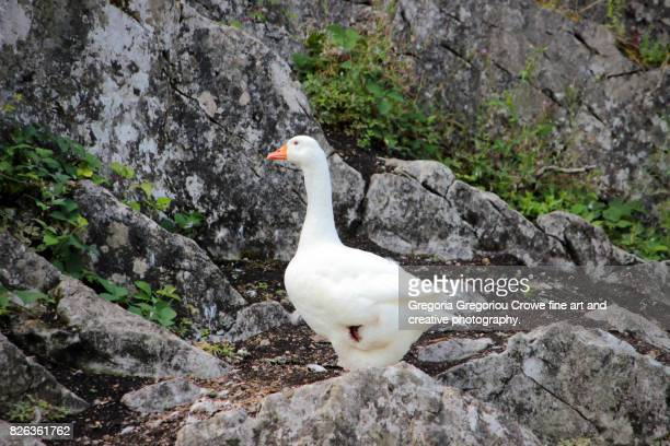 white goose on rocks - gregoria gregoriou crowe fine art and creative photography photos et images de collection