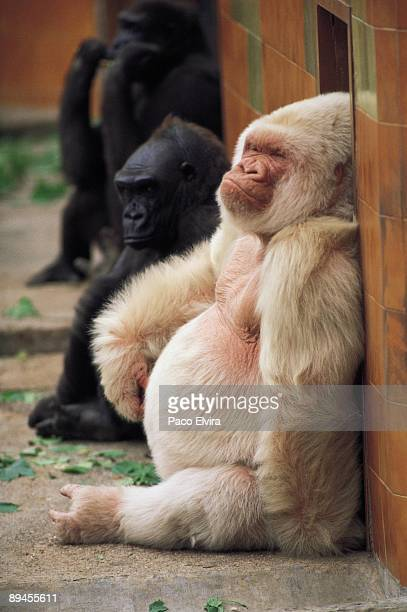 White gorilla Copito Blanco the white gorila is compained by some others gorilas Barcelona province