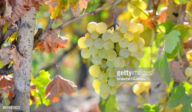 white grape in  wineyard - wineyard stock photos and pictures
