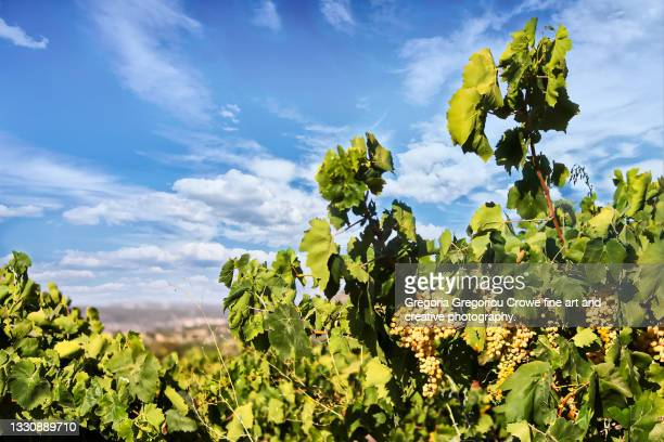 white grape vineyard - gregoria gregoriou crowe fine art and creative photography. stock pictures, royalty-free photos & images