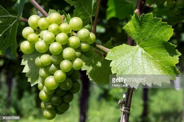 White grapes, grapes, noble Grape vine (Vitis vinifera), Fruchtstand, Baden-Wuerttemberg, Germany