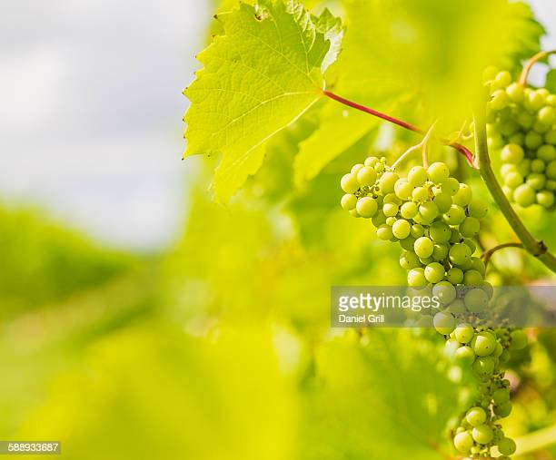white grapes growing in vineyard - white grape stock photos and pictures