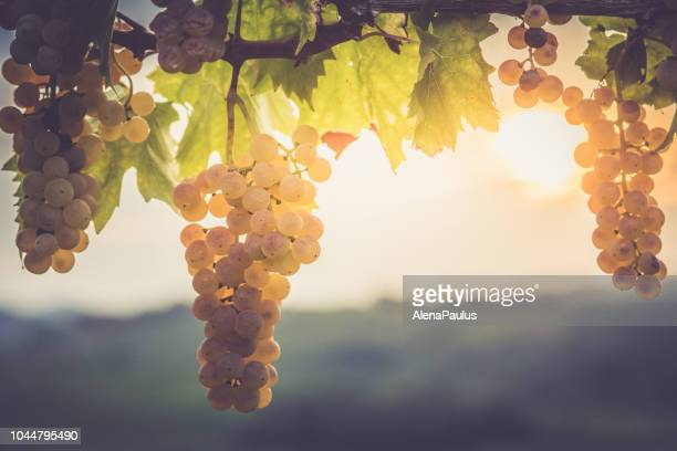 White grapes hanging from vine