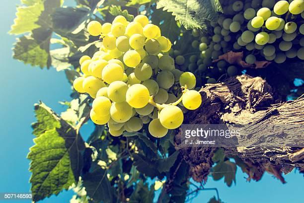 white grapes in a vineyard - jerez de la frontera stock pictures, royalty-free photos & images