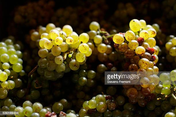 White grapes in Montlouis Area, Loire Valley, France