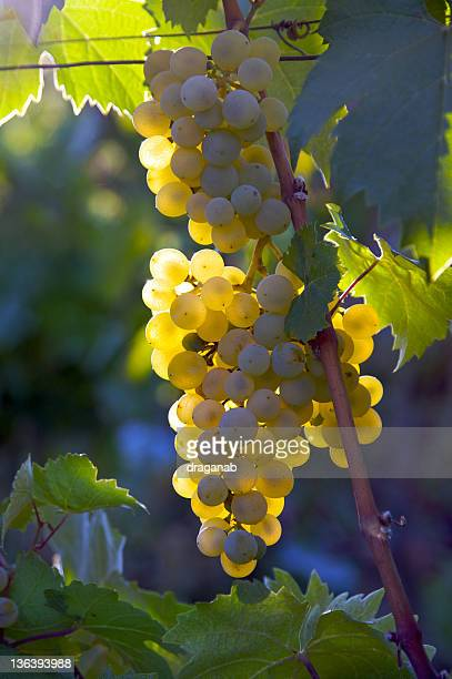 white grapes - macedonia country stock photos and pictures