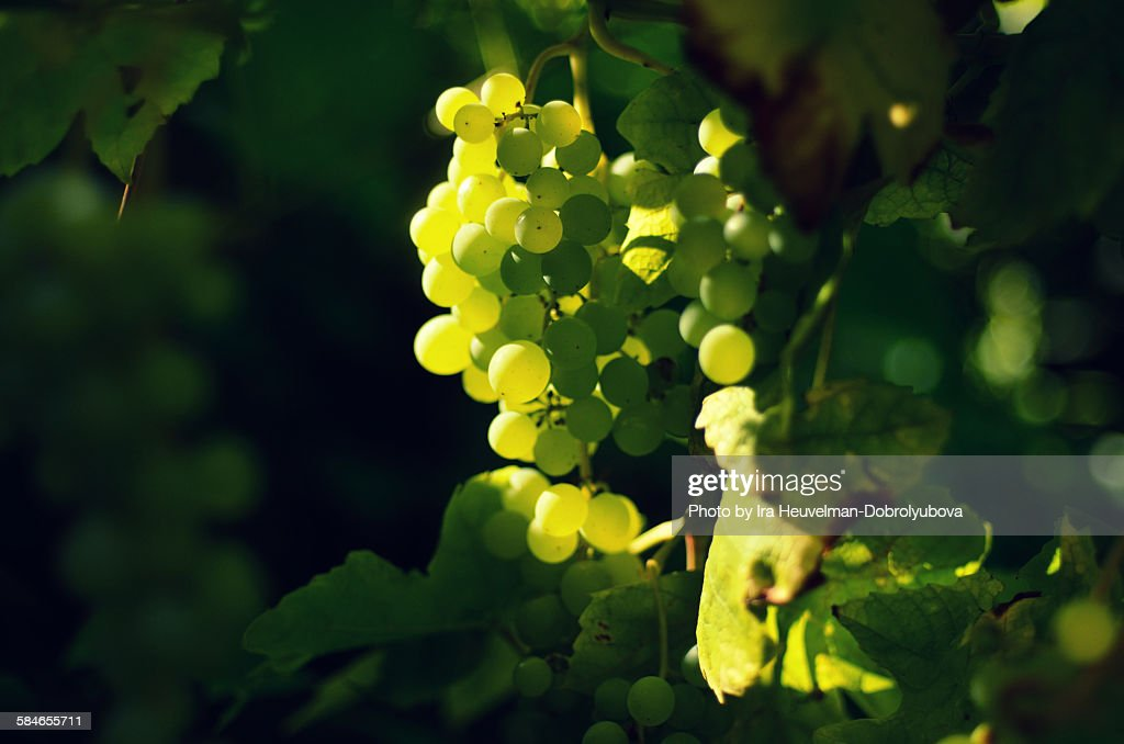 White grapes : Foto de stock