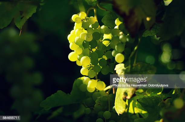 white grapes - chardonnay grape stock photos and pictures