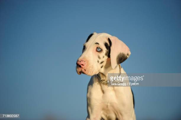 White Great Dane Puppy Against Clear Blue Sky