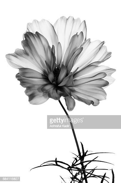 a white - grey flower on a white background - black and white ストックフォトと画像