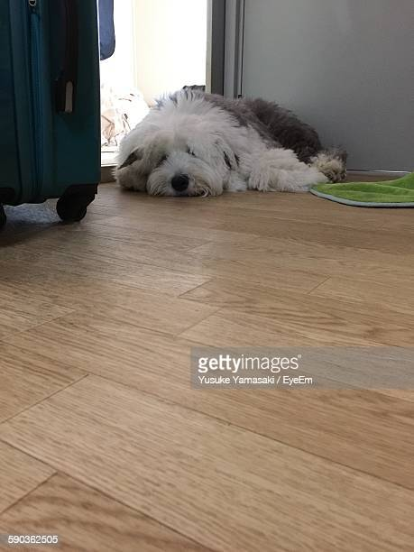 White Hairy Old English Sheepdog Lying Down On Hardwood Floor At Home