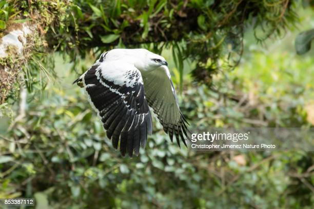 white hawk in flight extending its wings - christopher jimenez nature photo stock pictures, royalty-free photos & images