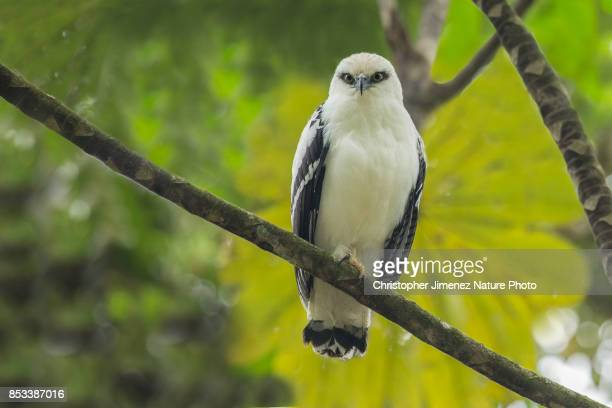 White Hawk (Pseudastur albicollis) perched on a branch in the rainforest