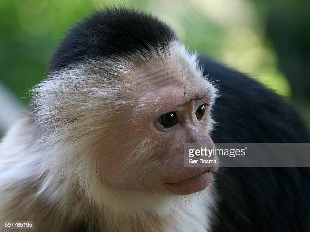 white headed capuchin monkey - mono capuchino fotografías e imágenes de stock