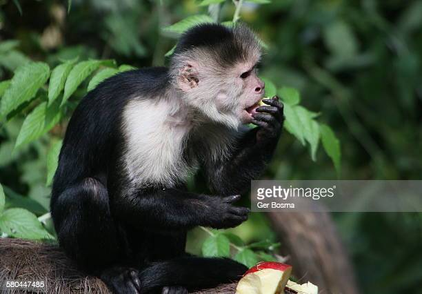 white headed capuchin - monkey paw stock photos and pictures
