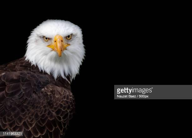 White Headed Eagle Portrait