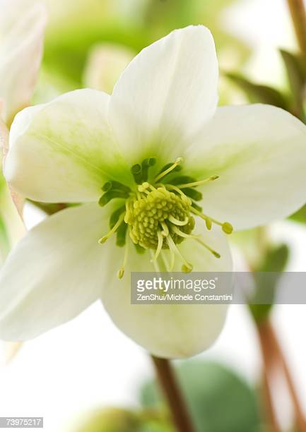 white hellebore flower, close-up - ヘレボルス ストックフォトと画像