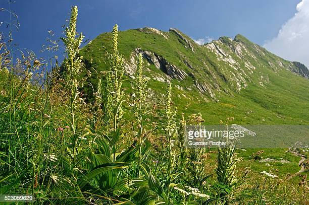 white hellebore -veratrum album-, vaud alps, switzerland, europe - バイケイソウ ストックフォトと画像