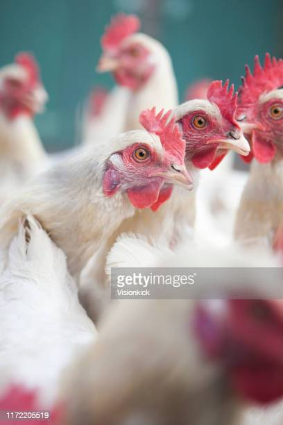 white hens in a flock - poultry stock pictures, royalty-free photos & images