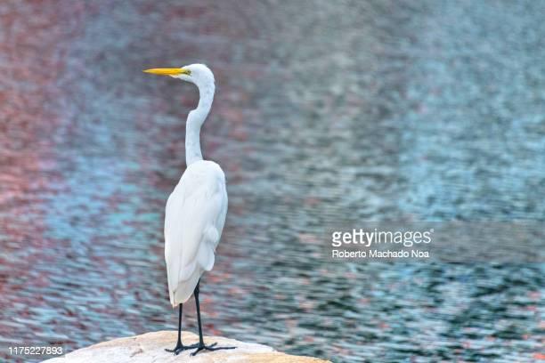 white heron bird by the water - 水鳥 ストックフォトと画像