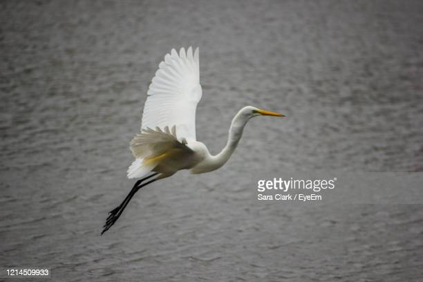 white heron flying over lake - north america stock pictures, royalty-free photos & images