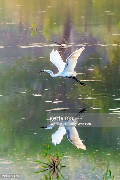 A white heron flying over the lake with its reflection