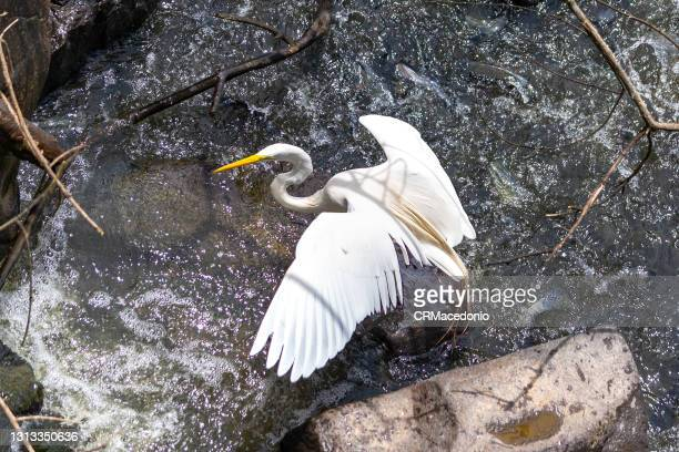 white heron hunting your food. - crmacedonio stock pictures, royalty-free photos & images
