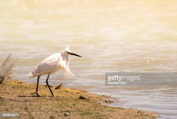 White heron in the water