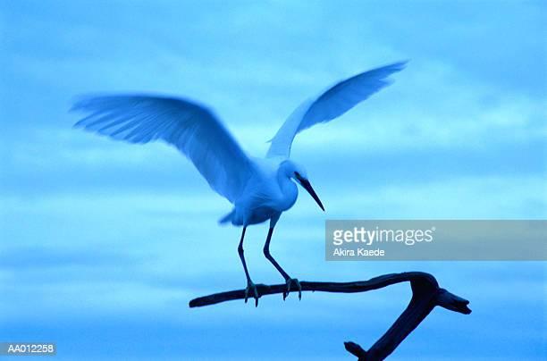 white heron (egretta alba) landing on branch - asa akira imagens e fotografias de stock
