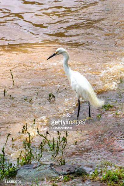 white heron peeking - crmacedonio fotografías e imágenes de stock