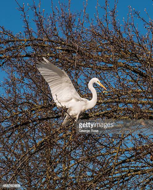 White heron perches in a tree overlooking the Russian River on January 24 in Healdsburg, California. With 2013 the driest year in recorded history...