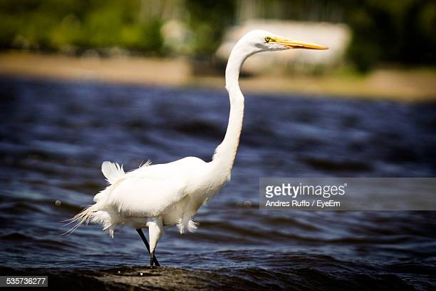 White Heron Walking In Water