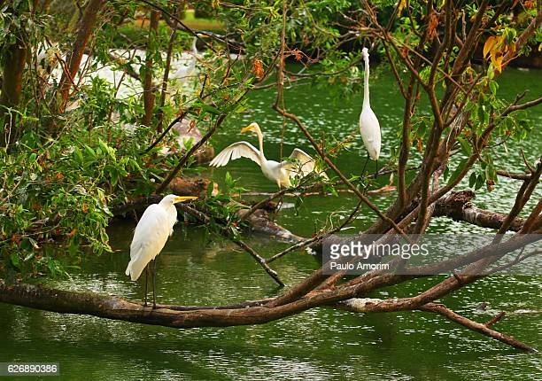 White Herons in the Amazon,Brazil