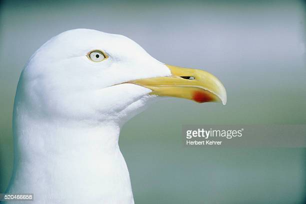 white herring gull with yellow beak - snavel stockfoto's en -beelden