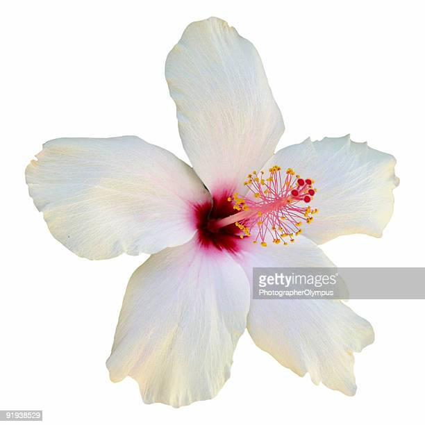 White hibiscus flower in close-up on plain background