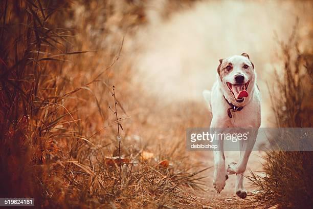 White High Energy Cattle Dog Running on Trail