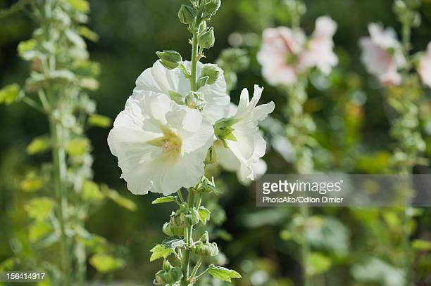 white hollyhocks - hollyhock stock pictures, royalty-free photos & images