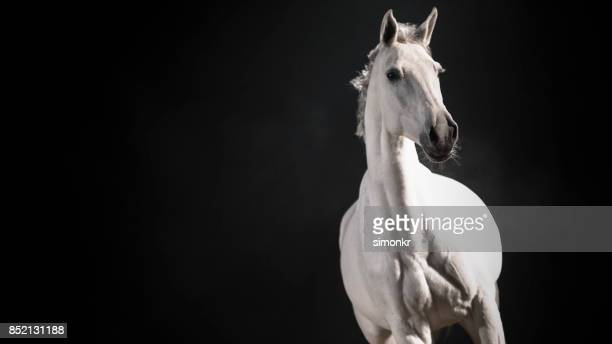 White horse against black background