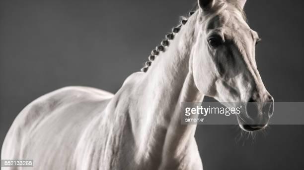 cheval blanc sur fond noir - cheval blanc photos et images de collection