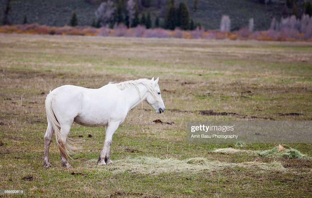 White horse at Grand Teton National Park : Stock Photo