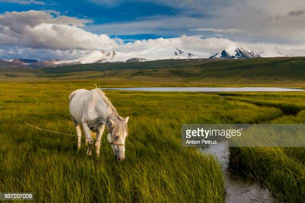 White horse at the foot of the snow-capped mountains