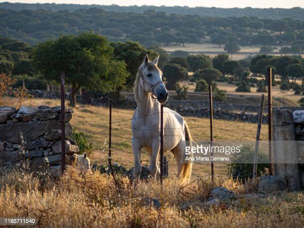 White horse behind a fence with barbed wire at sunset on the dehesa in Salamanca