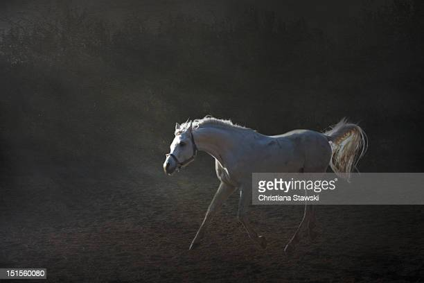 White horse cantering