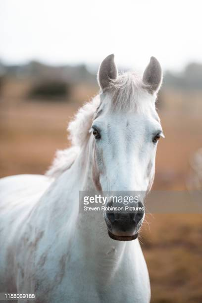 white horse closeup - beauty in nature stock pictures, royalty-free photos & images