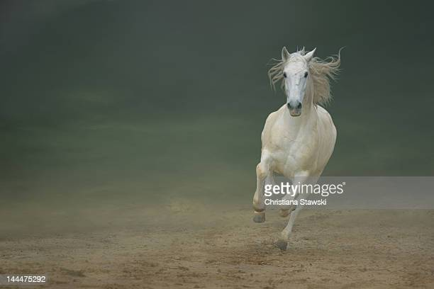 White horse galloping